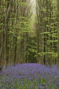 Bluebell Woods Alexander Walks